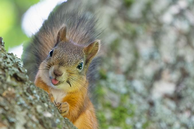 squirrel in a tree sticking his tongue out